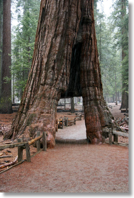 The California Tunnel Tree, Mariposa Grove, Yosemite National Park