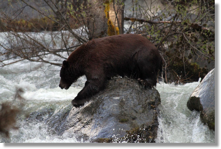 Black bear crossing Tuolumne River below Carlon Falls