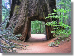 Tunnel Tree, Tuolumne Grove