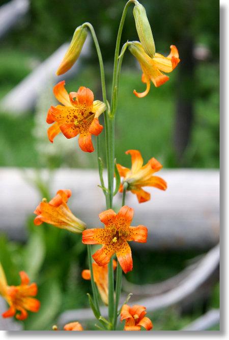 alpine lily  lilium parvum  flower cluster