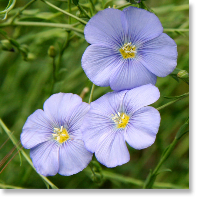 Meriwether lewis lewis flax flowering plant tahoe basin beautiful