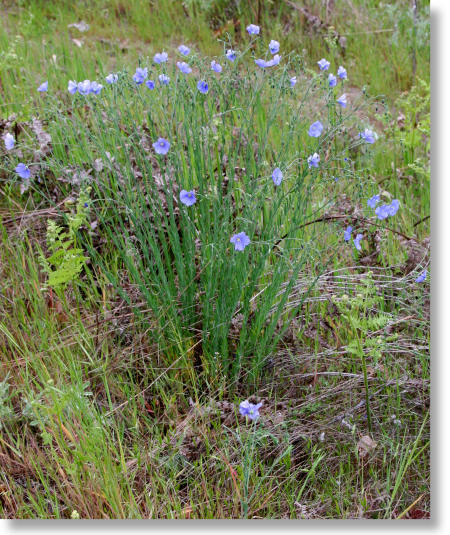 Guide blue purple flowers blue flax blue flax plant