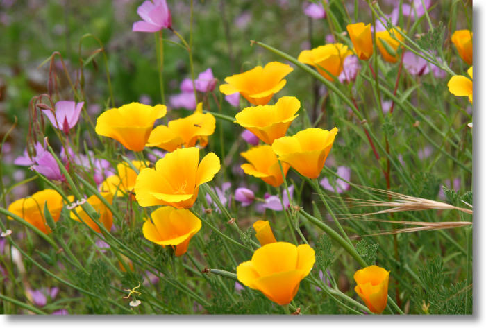 Yosemite wildflowers california poppy eschscholzia californica california poppies and clarkia farewell to spring mightylinksfo
