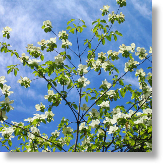 Mountain Dogwood Cornus Nuttallii