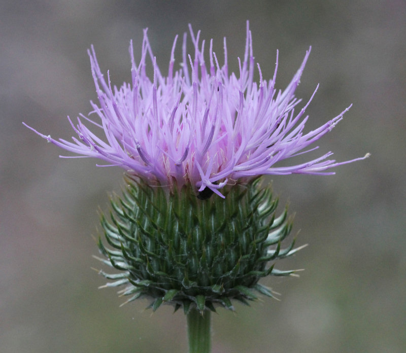 Yosemite Wildflowers California Thistle Cirsium
