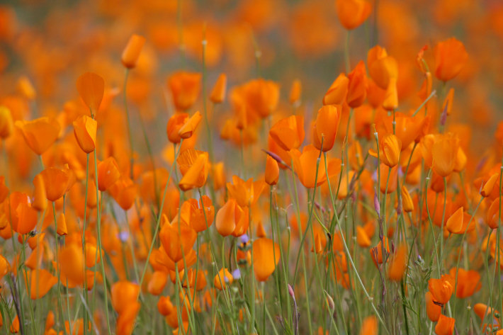 Tufted Poppies (Eschscholzia caespitosa) blooming along the Hite Cove trail