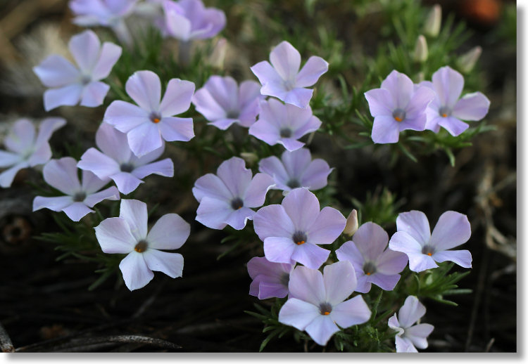 Spreading Phlox (Phlox diffusa) along the Sentinel Dome trail