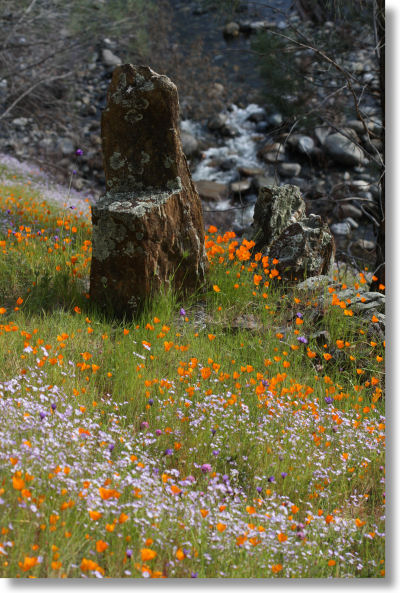 poppies and bird's eye gilia along the Hite Cove trail