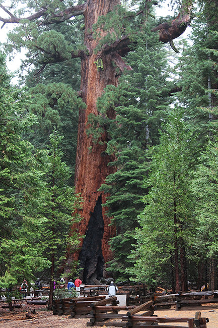 The Grizzly Giant sequoia in the Mariposa Grove, Yosemite National Park
