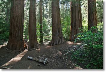 The first group of Giant Sequoias you'll meet in the Merced Grove, Yosemite National Park