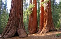 Bachelor and Three Graces, Mariposa Grove, Yosemite National Park